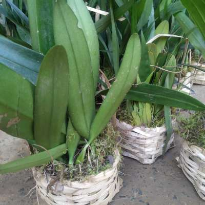 Orchid flower Plant Profile Picture